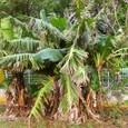 宮古島のバナナの木