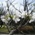 桜島の公園の桜