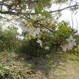 桜島の散りかけの桜