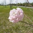 桜島の八重桜