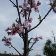 遊歩道沿いの桜