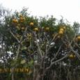 萩の夏みかんの木